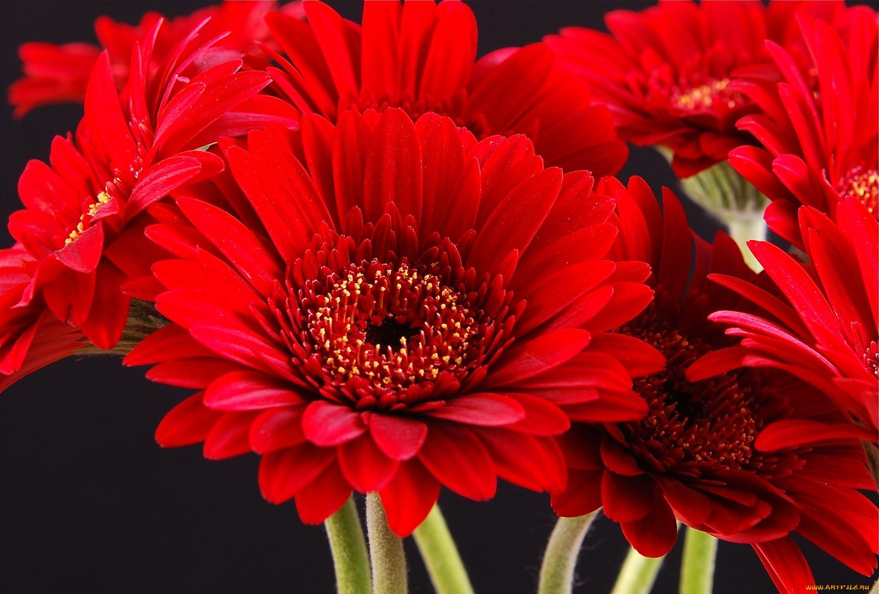 этот день фото красный цветок на черном фоне иногда